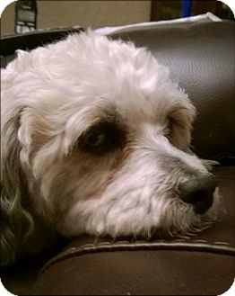 Lhasa Apso/Poodle (Miniature) Mix Dog for adoption in Fort Worth, Texas - NICHOLAS