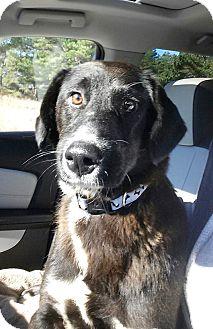 Labrador Retriever Mix Dog for adoption in Sagaponack, New York - Paula