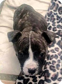 American Staffordshire Terrier Mix Puppy for adoption in Seguin, Texas - Phoebe