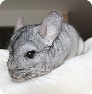 Chinchilla for adoption in Virginia Beach, Virginia - Atlas