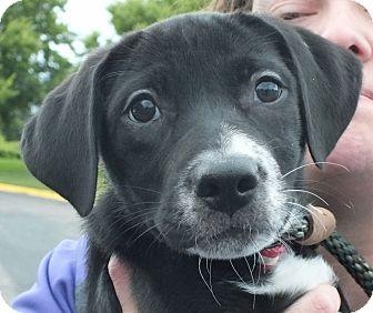 Labrador Retriever Mix Puppy for adoption in Minneapolis, Minnesota - Lanie
