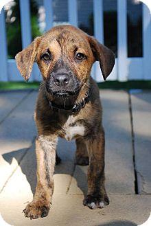 Labrador Retriever Mix Puppy for adoption in New Oxford, Pennsylvania - Joy