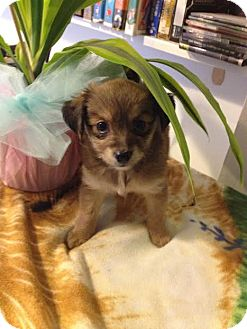 Chihuahua/Shih Tzu Mix Puppy for adoption in Homestead, Florida - Sweetie