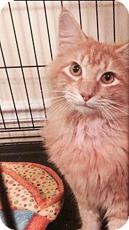 Domestic Longhair Cat for adoption in Ludowici, Georgia - Judah