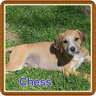 Labrador Retriever Mix Puppy for adoption in Glastonbury, Connecticut - Chess