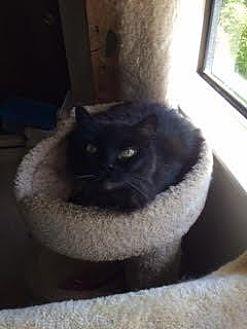 Domestic Mediumhair Cat for adoption in San Jose, California - Winston