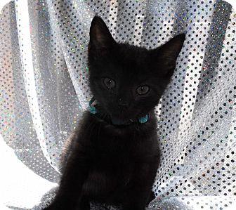 Domestic Shorthair Kitten for adoption in Bristol, Connecticut - Shadow