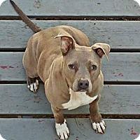Adopt A Pet :: Scout - Mount Clemens, MI