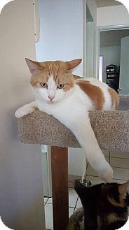 Domestic Mediumhair Cat for adoption in San Diego, California - Brozi (aka Brozita)