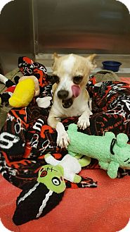 Chihuahua/Chihuahua Mix Dog for adoption in beverly hills, California - Sammy