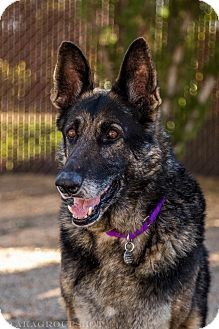 German Shepherd Dog Mix Dog for adoption in Phoenix, Arizona - Clara