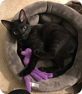 Domestic Shorthair Kitten for adoption in Reinholds, Pennsylvania - Mickey