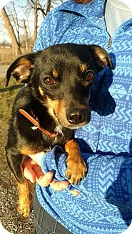 Chihuahua/Dachshund Mix Dog for adoption in Fort Wayne, Indiana - Valentina
