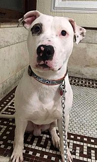 American Staffordshire Terrier/American Pit Bull Terrier Mix Dog for adoption in Staten Island, New York - Derrick