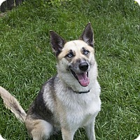 Husky/German Shepherd Dog Mix Dog for adoption in Sparta, New Jersey - Stella