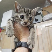 Domestic Shorthair/Domestic Shorthair Mix Kitten for adoption in Morgan Hill, California - Dinah