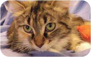 Domestic Longhair Cat for adoption in Walker, Michigan - Melanie