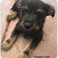 Adopt A Pet :: Hamilton - El Cajon, CA