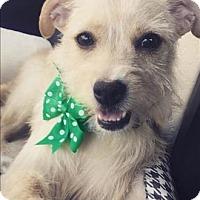 Adopt A Pet :: Chloe - Encino, CA
