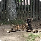 Adopt A Pet :: Rocco