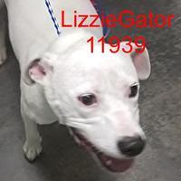 Adopt A Pet :: Lizzie Gator - Manassas, VA