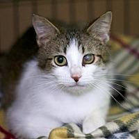 Adopt A Pet :: Pirate - Sioux Falls, SD