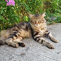 Adopt A Pet :: Petie - Chicago, IL