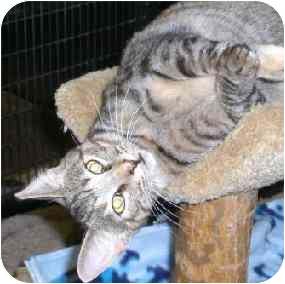 Domestic Shorthair Cat for adoption in Lombard, Illinois - Prestwick