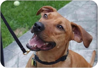 American Staffordshire Terrier/Labrador Retriever Mix Dog for adoption in Northville, Michigan - Rusty - Video!