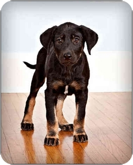 Labrador Retriever/Shepherd (Unknown Type) Mix Puppy for adoption in Owensboro, Kentucky - Carly