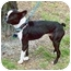 Photo 2 - Boston Terrier Dog for adoption in Clementon, New Jersey - Shrimpy