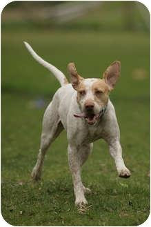 Pointer/Vizsla Mix Dog for adoption in Wood Dale, Illinois - Hudson