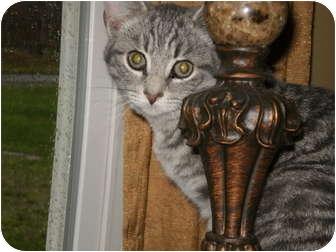 Domestic Shorthair Kitten for adoption in Morris, Pennsylvania - Baby Jack