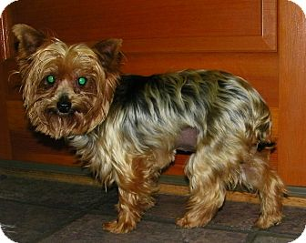 Yorkie, Yorkshire Terrier Dog for adoption in Mt Gretna, Pennsylvania - Katie Perry