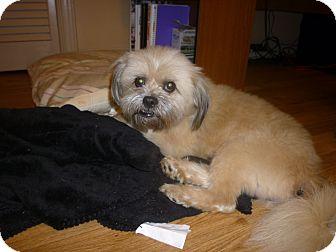 Shih Tzu Mix Dog for adoption in Hillsville, Virginia - Scruffy