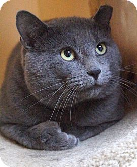 Russian Blue Cat for adoption in Medford, Massachusetts - Prince Troy