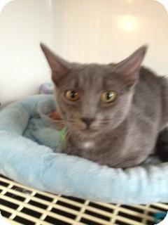 Domestic Shorthair Kitten for adoption in Wenatchee, Washington - Tequlia