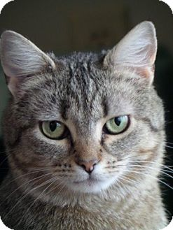 Domestic Shorthair Cat for adoption in Cincinnati, Ohio - Buckeye