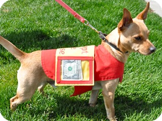Chihuahua Mix Dog for adoption in Great Falls, Montana - Zeus