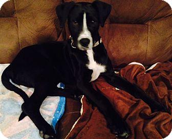 Labrador Retriever/Terrier (Unknown Type, Medium) Mix Dog for adoption in Owatonna, Minnesota - Duey