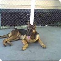 Adopt A Pet :: Roscoe(PUREBRED) - Miami Beach, FL