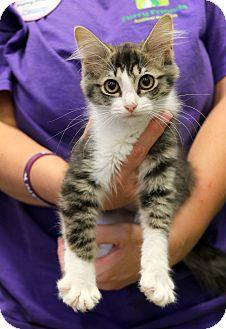 Domestic Mediumhair Kitten for adoption in Plano, Texas - BELLE - FLUFFY PLAYGIRL!!!