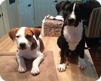 Boxer Mix Puppy for adoption in Charlotte, North Carolina - Bunker (Golf Litter)