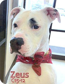 American Pit Bull Terrier Dog for adoption in Tiffin, Ohio - Zeus