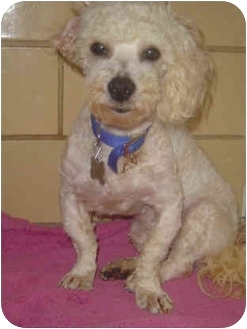 Bichon Frise/Poodle (Toy or Tea Cup) Mix Dog for adoption in Freeport, New York - Jasper