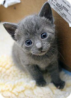 American Shorthair Kitten for adoption in Ruther Glen, Virginia - Shadow