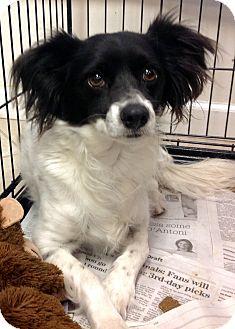 Papillon/Border Collie Mix Dog for adoption in Phoenix, Arizona - Steve
