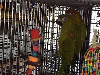 Conure for adoption in Punta Gorda, Florida - Reece & Dundee