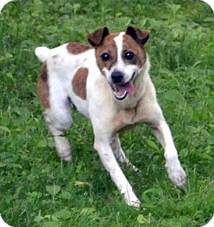 Jack Russell Terrier/Feist Mix Dog for adoption in Sylva, North Carolina - Penny