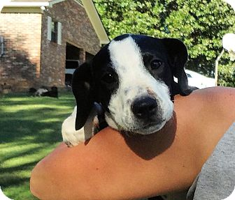 Labrador Retriever Mix Puppy for adoption in Conway, New Hampshire - Pate